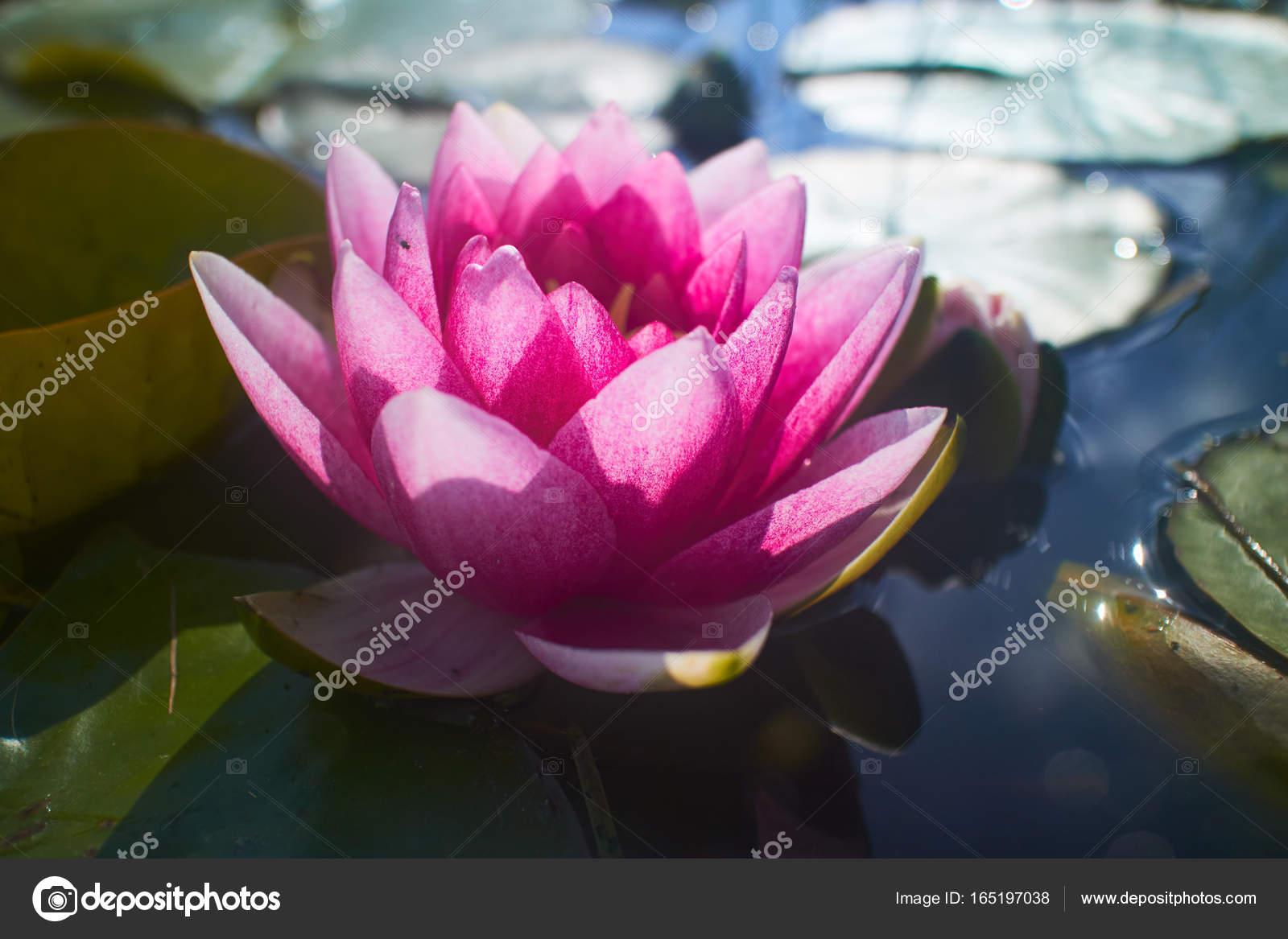 Lotus Flower In Pond Stock Photo Strelok 165197038