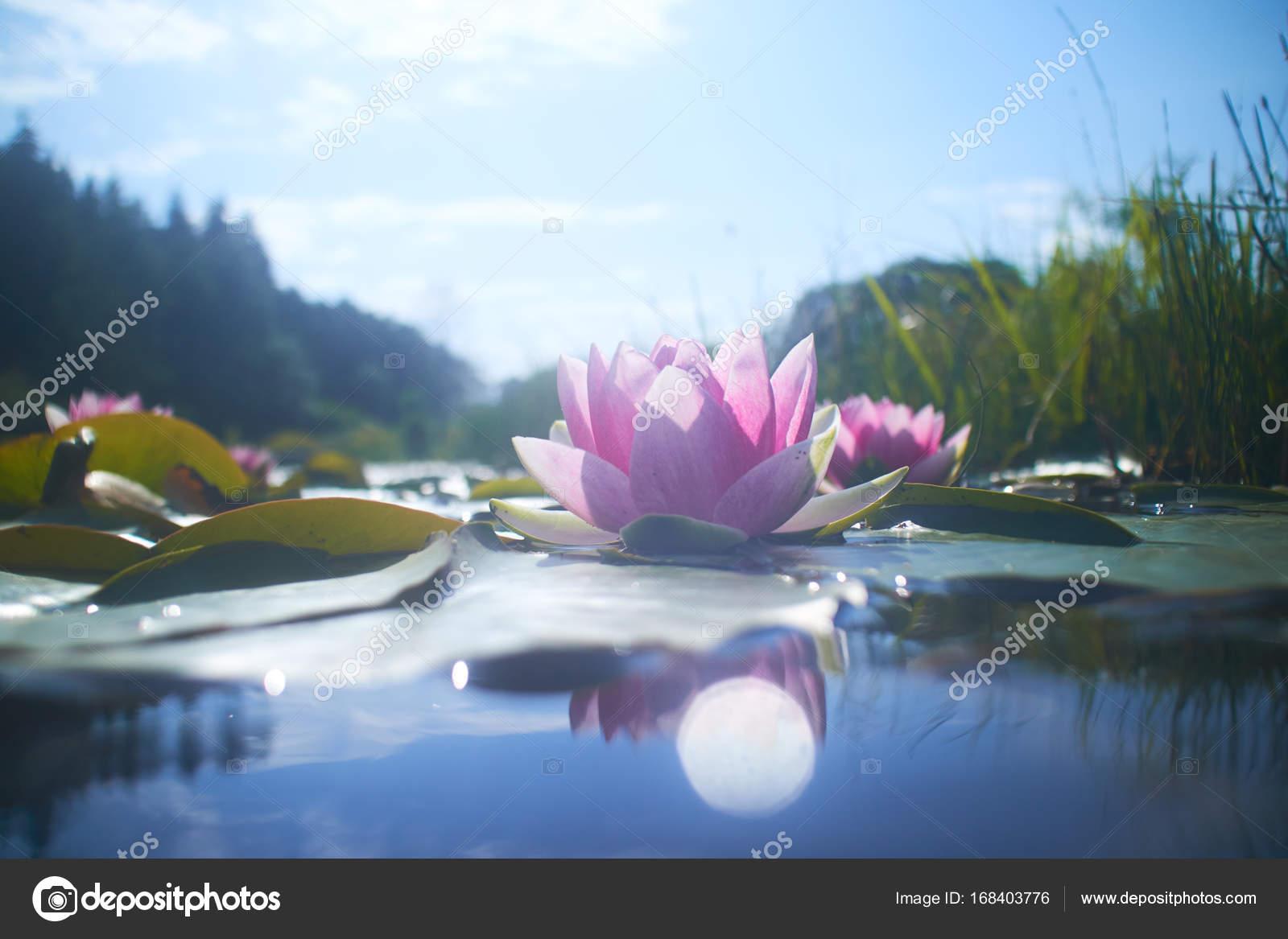Lotus flowers in pond stock photo strelok 168403776 beautiful lotus flowers in pond at sunny day photo by strelok izmirmasajfo