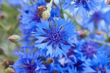 beautiful blue flowers of cornflowers