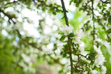 flowering apple tree branches on natural background