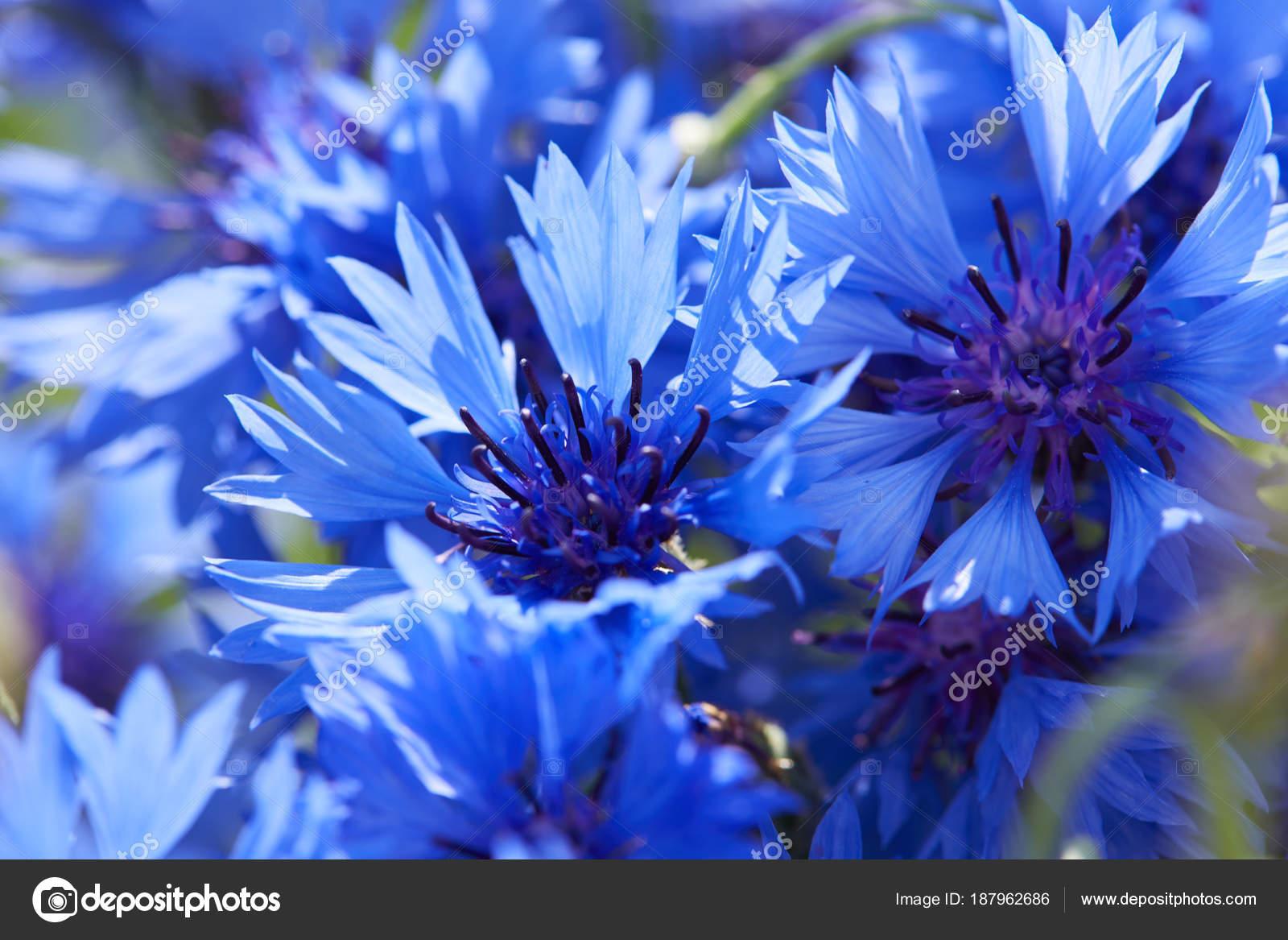 Beautiful blue flowers cornflowers close stock photo strelok beautiful blue flowers cornflowers close stock photo izmirmasajfo