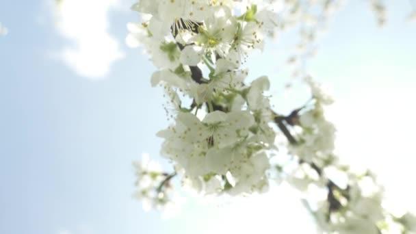 gyönyörű virágzó cseresznyefa fehér virágokkal a napsütésben, tavaszi koncepció