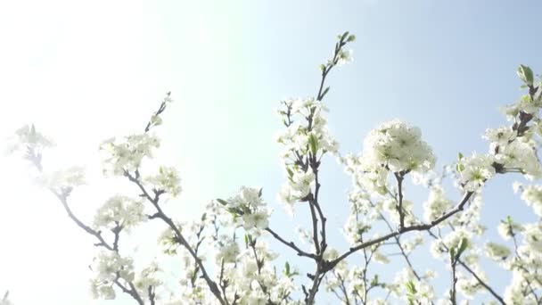 beautiful blooming cherry tree with white flowers in sunshine, spring concept