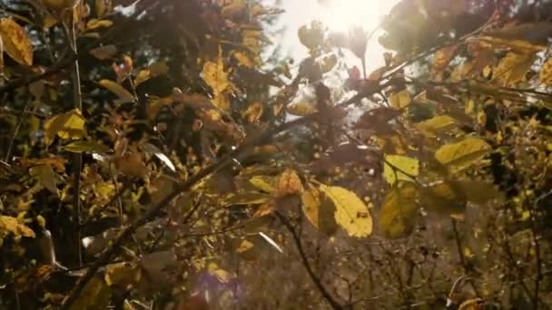 Beautiful Sun shine through the blowing on wind yellow leaves. Nature background. Sunflare. Slow motion.