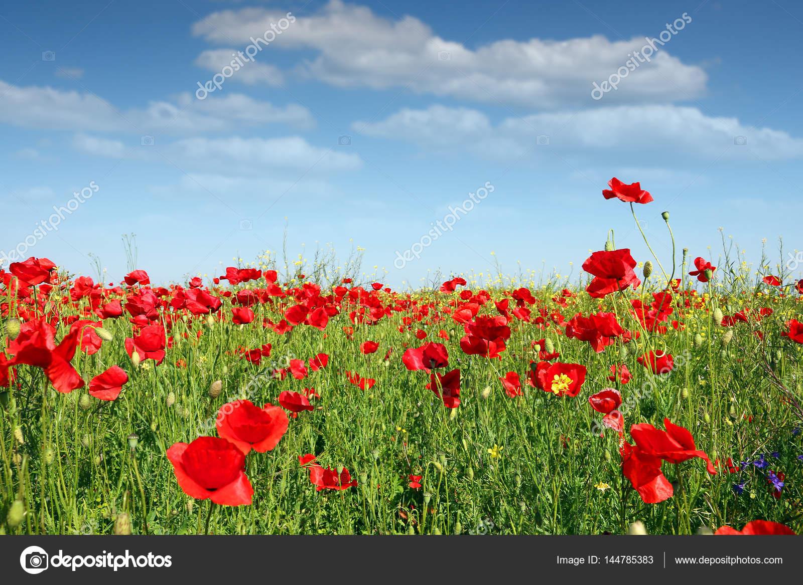 Poppy Flower Field Spring Season Stock Photo Goceristeski 144785383