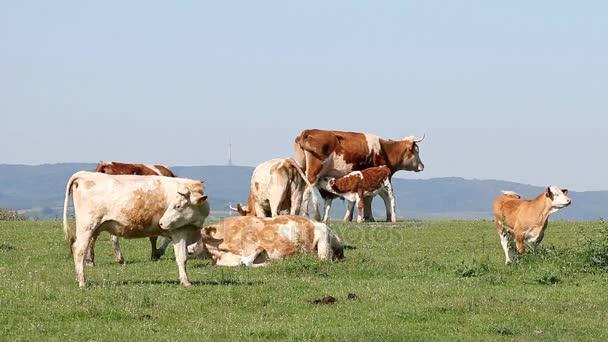 mandria di mucche al pascolo