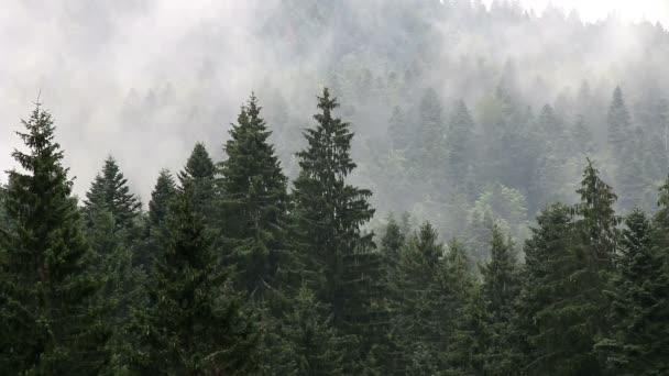 borovice strom horský Les v mlze