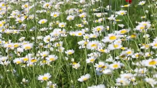 Heřmánek květ louka jarní sezóny