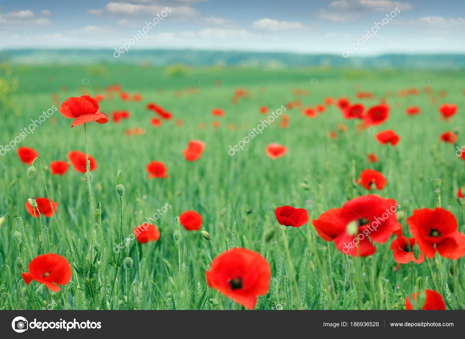 Poppies Flower Meadow Nature Landscape Stock Photo Goceristeski