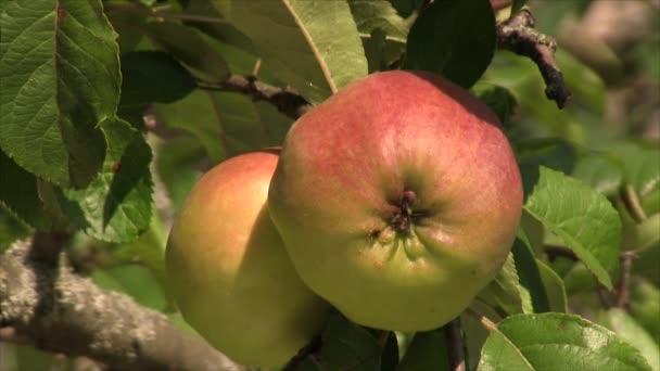 Mravenec na apple