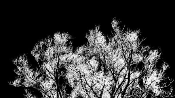 Tree crown swaying in the wind, black and white high contrast inverted video with engraving effect
