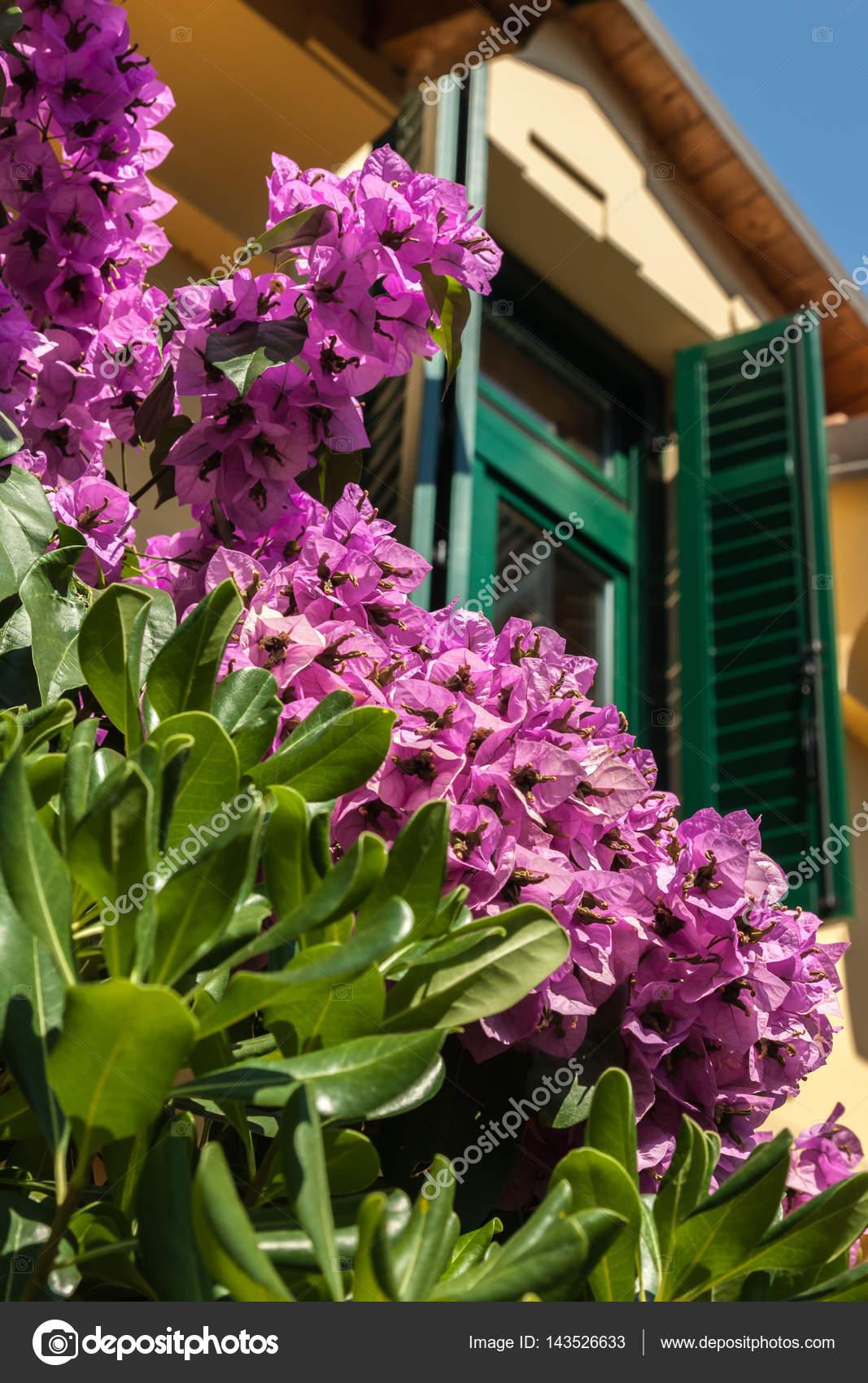Fiori di bouganville fioritura vicino alla casa foto for Bouganville fioritura