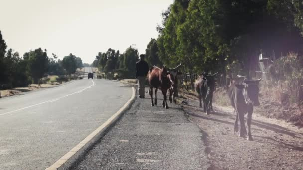 Man walking along the road with cattles
