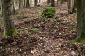 účinky hrabání v zemi uvnitř lesa u divokých prasat v přírodní rezervaci Rosochacz v Polsku