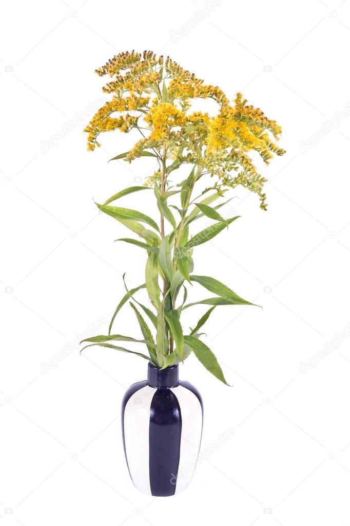 Field Goldenrod plant