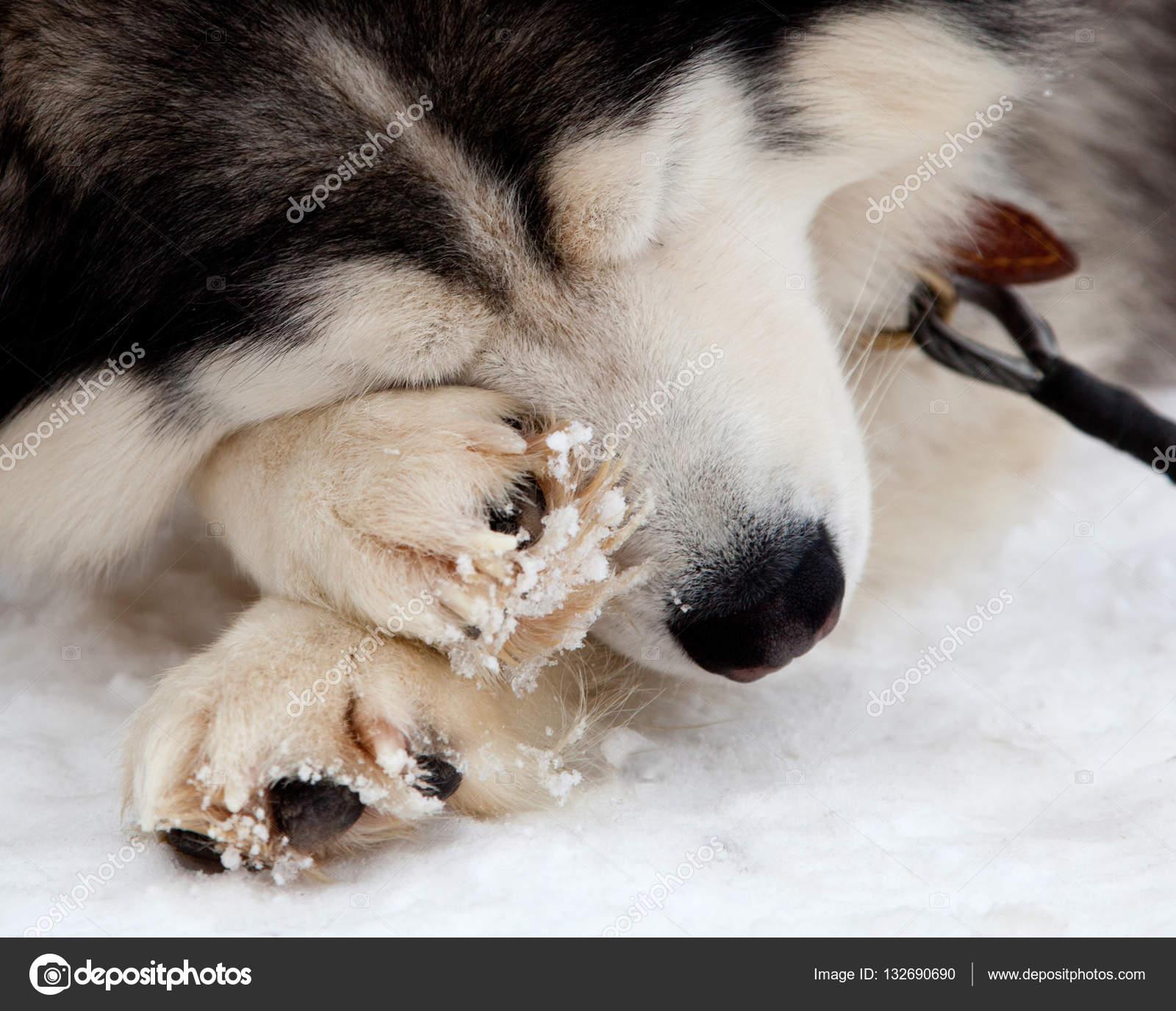 white siberian husky wallpaper siberian husky dog stock photo