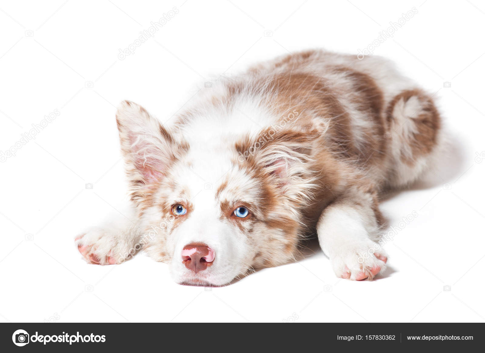 Red Merle Bordercollie Puppy Portret Op Witte Achtergrond