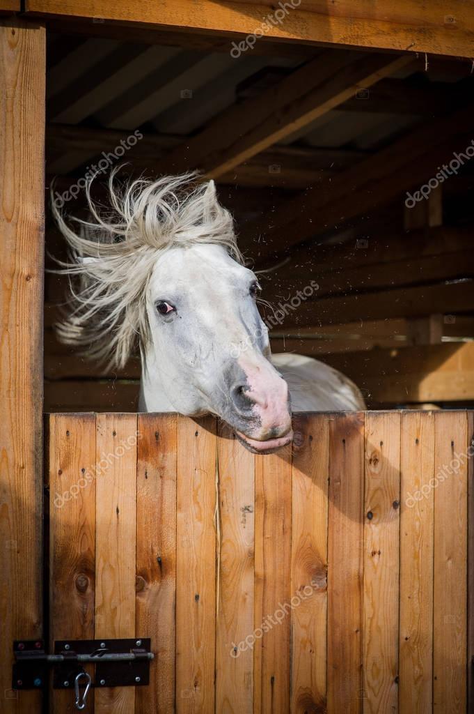 Funny portrait of white horse shaking mane