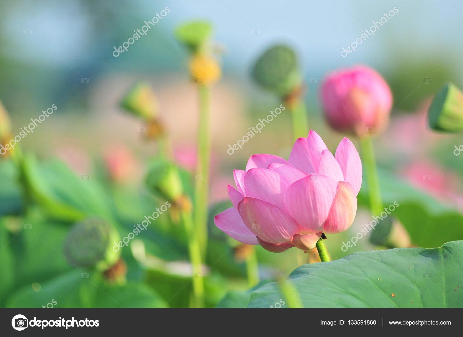Sacred Lotus Flower Living Fossil Close Up Stock Photo Olgaru79