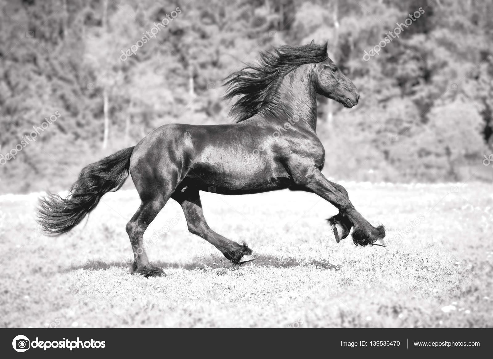 Black And White Friesian Horse Free Friesian Horse Runs Black And White Stock Photo C Olgaru79 139536470