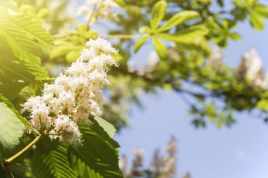 branch of blossoming chestnut against the blue sky on a sunny spring day