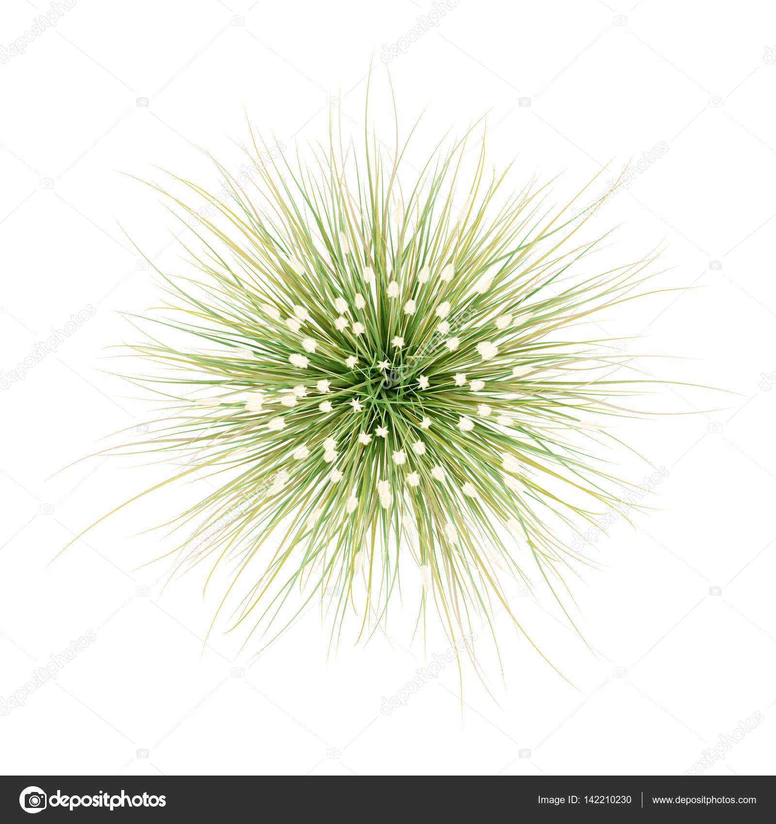 Vue de dessus de plante gramin e ornementale isol sur for Top ornamental grasses