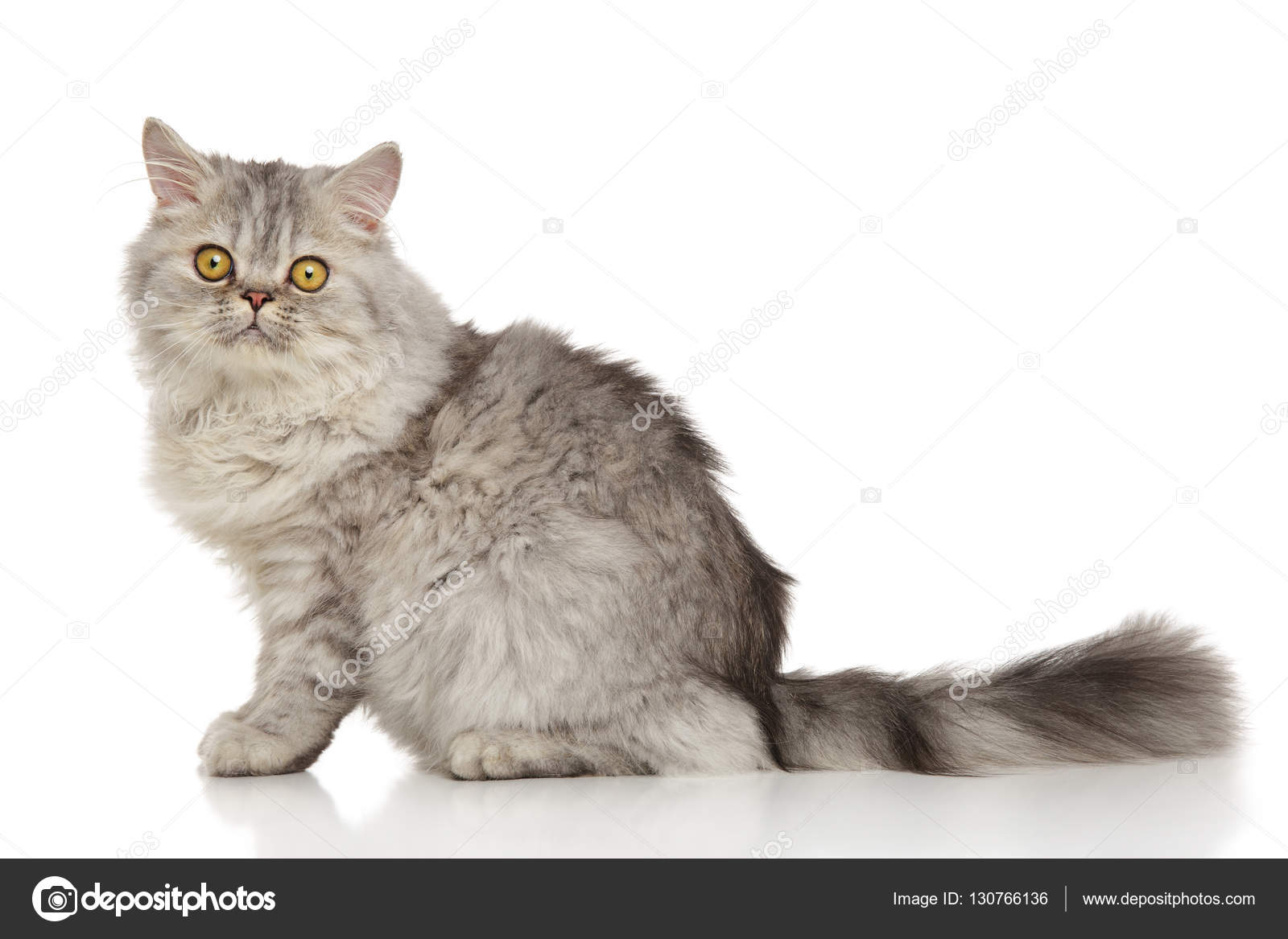 Grey Persian cat — Stock © FotoJagodka