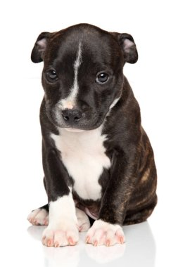 Amstaff puppy on a white background