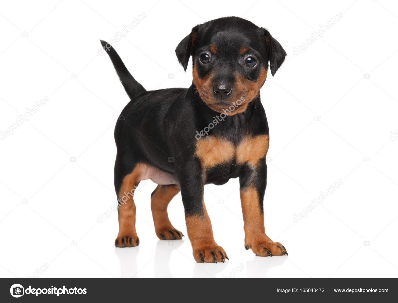 miniature pinscher puppy stock photo fotojagodka 165040472