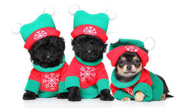 Puppies in Christmas costumes