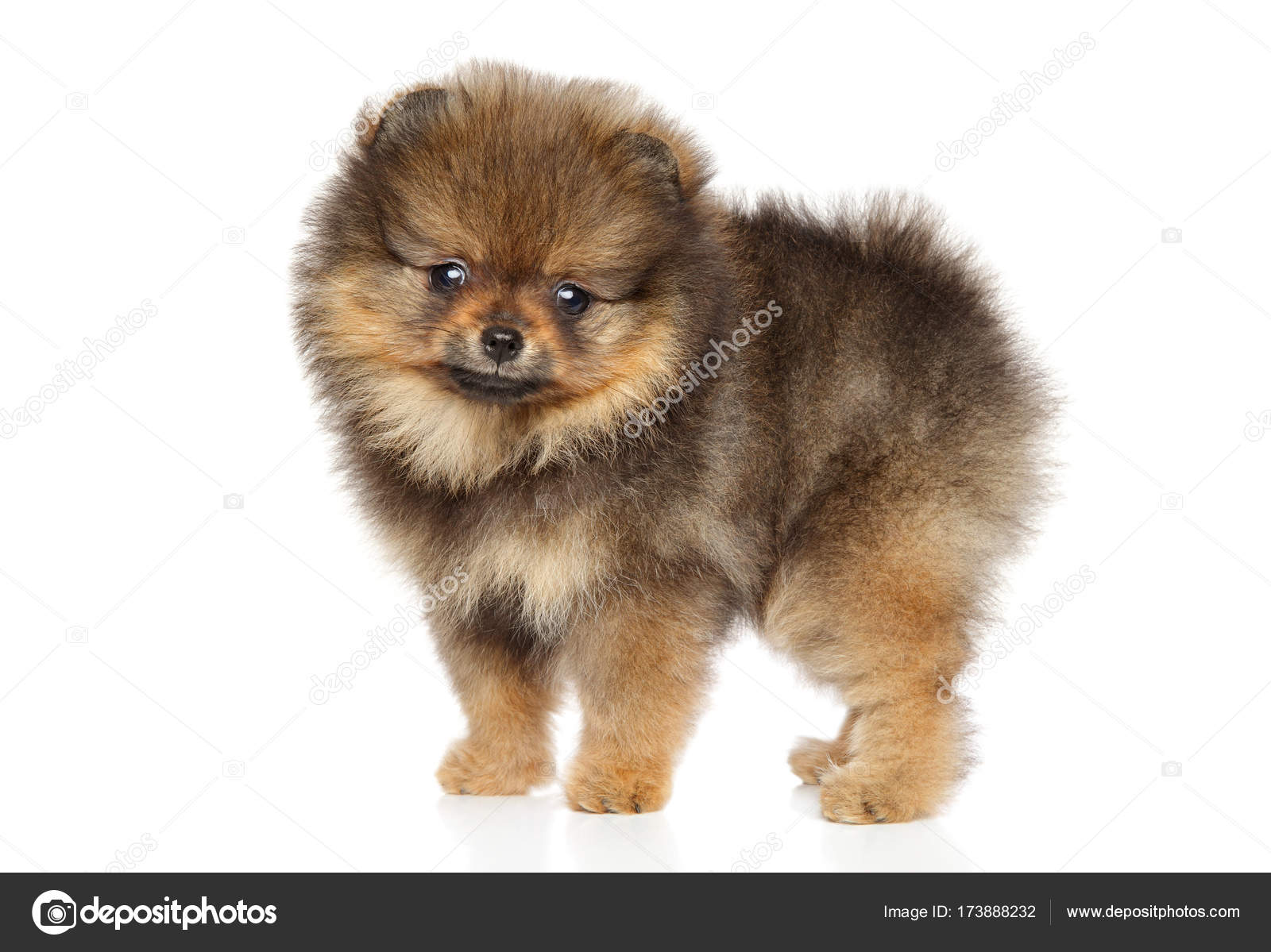 Pomeranian Spitz Puppy Baby Animal Theme Stock Photo
