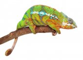 Photo Chameleon on branch