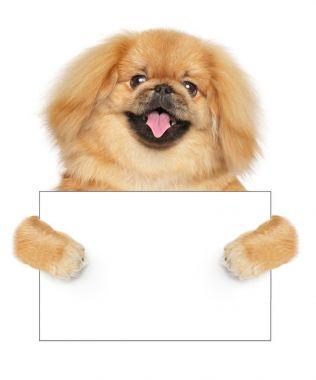 Pekingese dog with empty card on white background