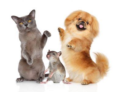 Dancing pets Burma cat, Pekingese dog and rat on a white bacground.