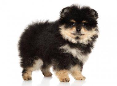 Pomeranian Spitz puppy stands on a white background