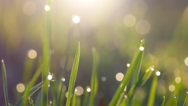 Abstraktní záběr vlhké zelené trávy rosou kapky v ranní světla