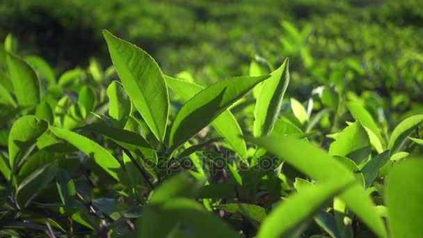 Green tea fresh leaves. Tea plantations