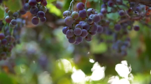 Violet wine grapes growing on a bush waving in the wind. Slow motion close-up shot