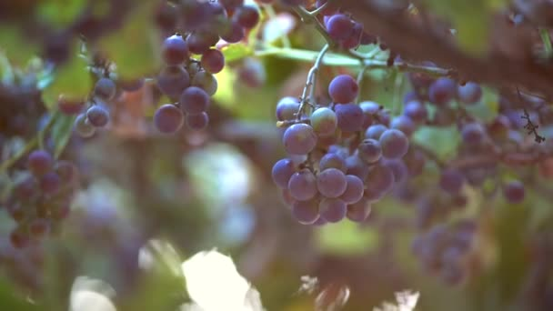 Slow motion shot of red wine eco grape. Slow motion