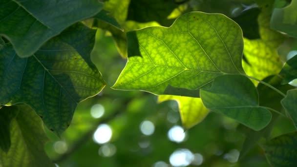 Zelené čerstvé listy se zadním světlem. Uhd, 4k