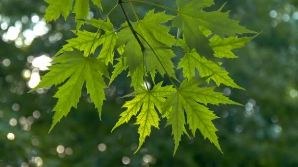 Zelený javor listí přes modravé letní pozadí západu slunce. 4k