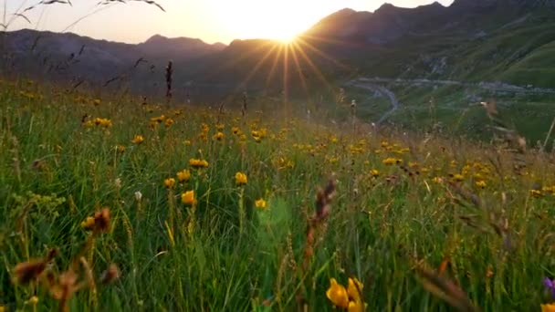Alps during sunset. Bright orange beams of sun appearing from behind a mountain and shining on yellow wild flowers and green grass in an Alpine meadow. Steadicam shot, 4K