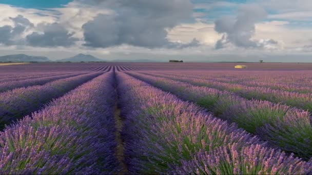 Panoramic shot of endless lavender field in Provence, France. Blooming violet fragrant lavender flowers swaying on wind. Running clouds background. High quality shot, UHD, 4K
