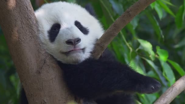 Little panda snugly settles down on a tree and prepares for sleep. Cute panda baby resting on a tree branch at noon. 4K, UHD