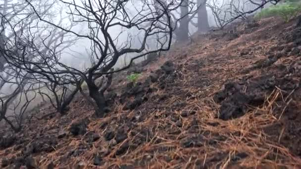 Folgen eines Feuers. Verbrannte Bäume zwischen braunem Gras bei nebligem Morgenwetter. Steadicam-Aufnahme, UHD