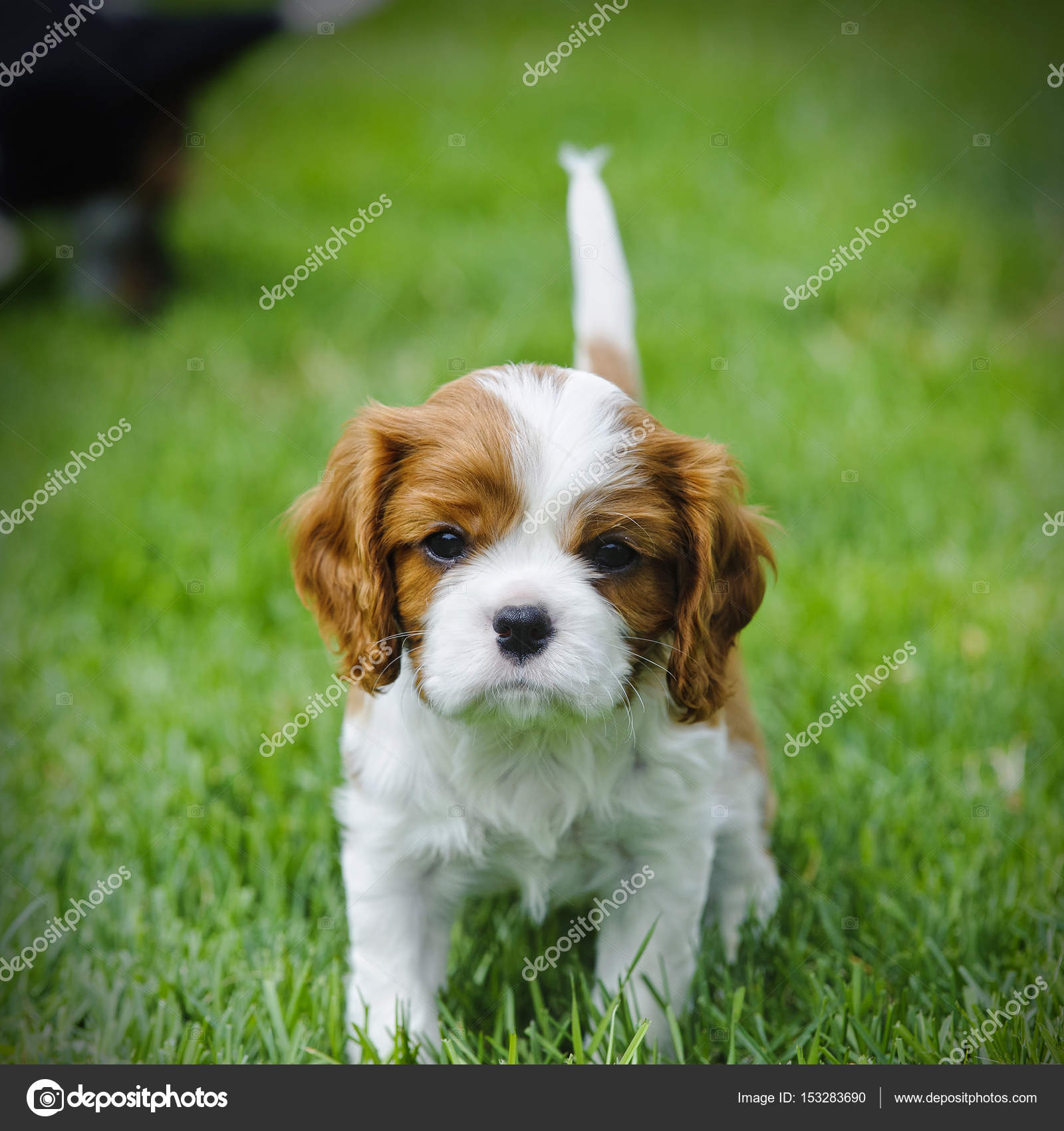 Cavalier King Charles Spaniel Puppy In Garden Stock Photo C Foto Front 153283690