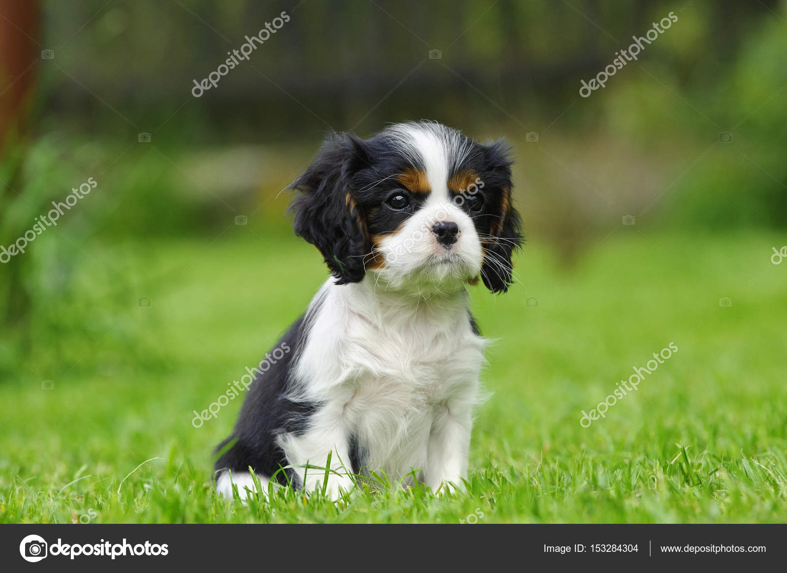 cavalier king charles spaniel puppy in garden stock photo foto