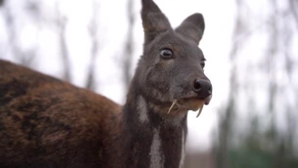 Sibiřský pižmový jelen. malý jelen s tesáky