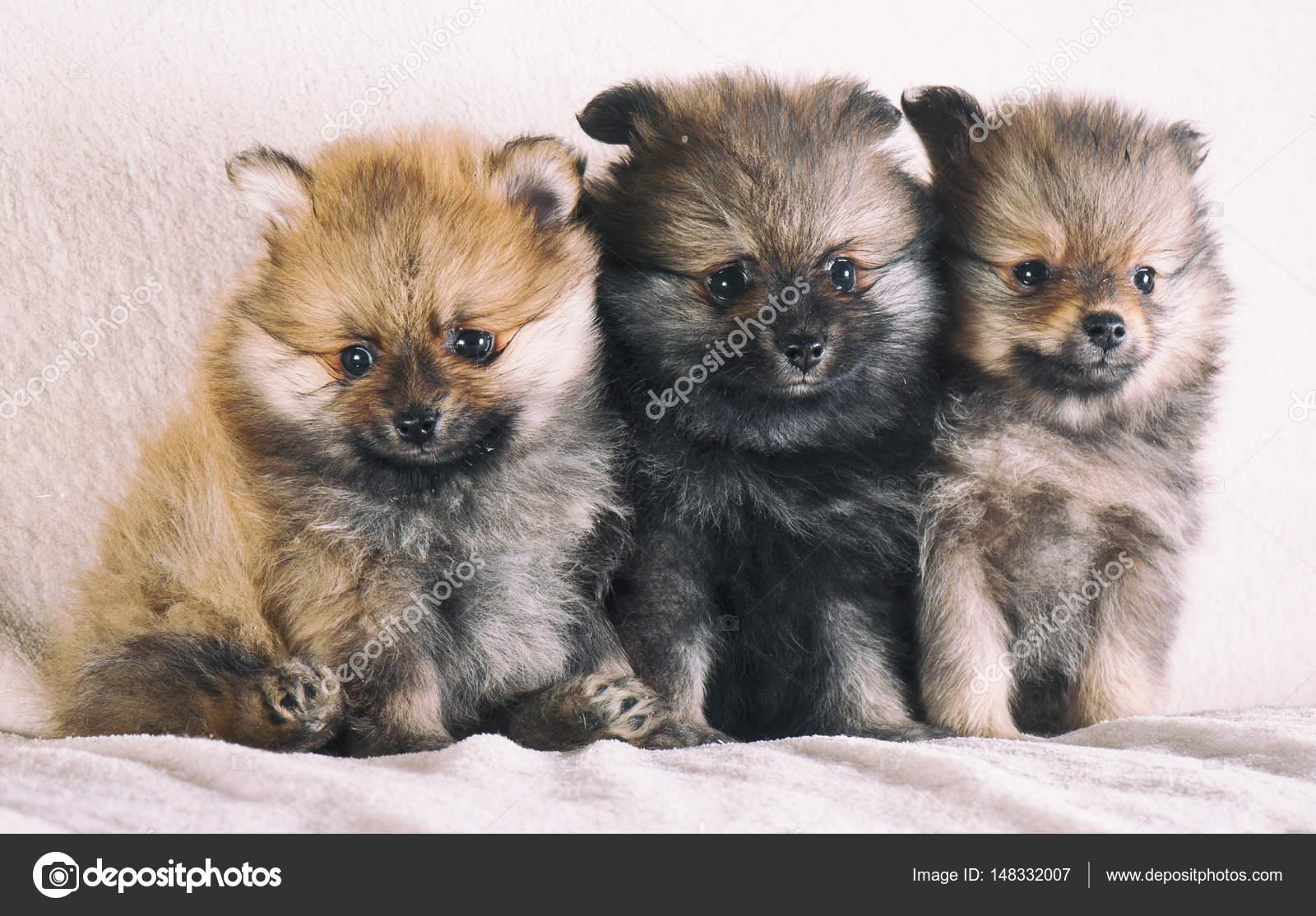 Cute Baby Pomeranian Puppies Adorable Pomeranian Spitz Puppies Stock Photo C Fotomolos 148332007