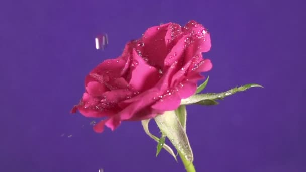 Růže Valentýn a stříkající vodě, pomalý pohyb